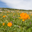 Orange flowers in a alp fields — Stock Photo