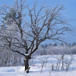 Oak in a winter forest — Stock Photo