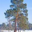 Beautiful pine tree in a forest — Stock Photo #8132410