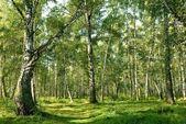 Green birch grove — Stock Photo