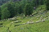 Herd of sheep in a mountain forest — Stock Photo
