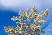 Pine tree branch on a blue sky backgound — Stock Photo