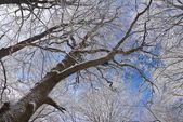 Uplifted winter tree — Stock Photo