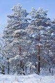 美丽白雪松林 — 图库照片