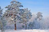Winter dennenbos — Stockfoto