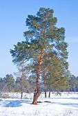 Beautiful pine tree in a forest — Stock Photo