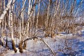Bosque de abedules snowbound — Foto de Stock