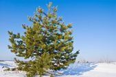 Nice lush pine tree in a winter plain — Stock Photo
