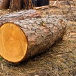 Stock Photo: Pine log in forest