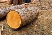 Pine log in a forest — Stock Photo