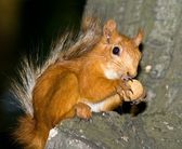Squirrel on a tree eating nut — Stock Photo