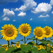 Beautiful sunflowers on a blue sky background — Stock Photo