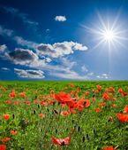 Spring red poppy field — Stock Photo
