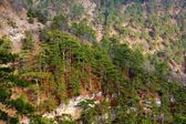 Pine forest on a mountain slope — Stock Photo