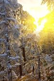 Bosque de invierno en un rayos de sol — Foto de Stock
