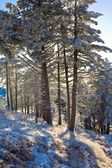 Pinhal de inverno — Fotografia Stock