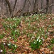 Forest glade with snowdrops — Stock Photo #8517987