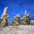Stock Photo: Snowbound pine tree forest