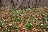 Forest glade with snowdrops — Stock Photo