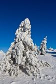 Winter pine tree forest and blue sky — Stock Photo