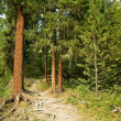 Taiga forest — Stock Photo