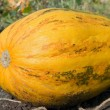 Stock Photo: Ripen pumpkin