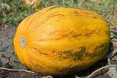 Ripen pumpkin — Stock Photo