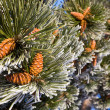 Pine tree branch with cones — Stock Photo