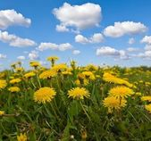 Closeup yellow dandelions — Stock Photo