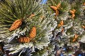 Pine tree branch with cones — Foto Stock