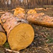 Heap of tree trunks in forest — Stock Photo #8761111