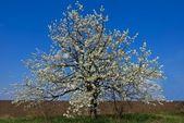 весной яблони в цвету — Стоковое фото