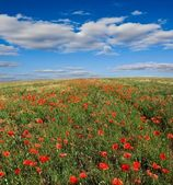 Spring field with red poppy carpet — Stock Photo
