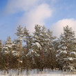 Winter pine tree forest — Stock Photo #8794277