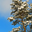 Stock Photo: Beautiful snowbound pine tree