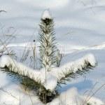 Little pine tree in winter — Stock Photo
