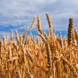 Gold wheat field closeup — Stock Photo