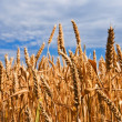 Stock Photo: Gold wheat field closeup