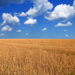 Wheat field by a hot summer day — Stock Photo
