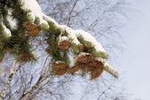 Spruce branch is concealed snow — Stock Photo