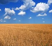 Wheat field by a hot summer day — Foto Stock