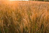 Ears of wheat in a rays of sun — Stock Photo
