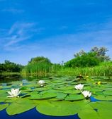 Summer lake with white lilies — Stockfoto