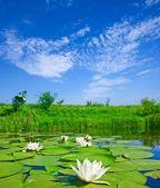 Gigli su un lago — Foto Stock