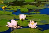 три красивые розовые лилии — Стоковое фото