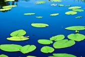 Green waterplant lieves on a water — Stock Photo
