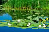 Lilies on a water — Stock Photo