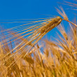 Stock Photo: Wheat ears on a blue sky background