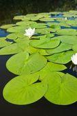 Weiße lilien-hintergrund — Stockfoto
