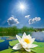 Lírio branco closeup debaixo de um sol de brilho — Foto Stock